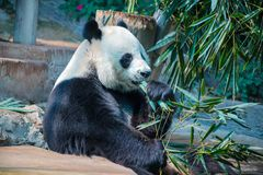 Grand panda en Chiang Mai Zoo, Thaïlande photographie stock libre de droits