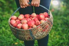 Grand panier des pommes Photos libres de droits