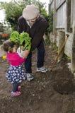 Grand-papa et petit-enfant plantant la plante de tomate Images stock