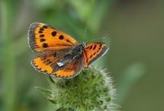 Grand papillon de cuivre Images libres de droits