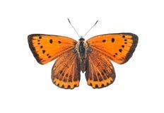 Grand papillon de cuivre, d'isolement sur le blanc photographie stock