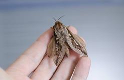 Grand papillon de mite jugé disponible Photos stock