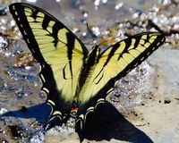 Grand papillon de monarque jaune Image stock