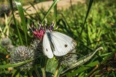 Grand papillon européen femelle de blanc de chou photographie stock libre de droits