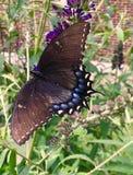 Grand papillon noir brunâtre de machaon photographie stock libre de droits