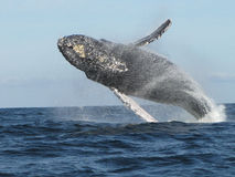 The Grand Parade. 6000 lb Humpback in full breach right before our very eyes. Bay of Banderas, Mexico Royalty Free Stock Images