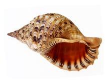Grand parler de seashell photo stock