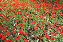Grand parterre de jardin rouge de tulipes au printemps photo libre de droits