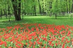 Grand parterre de jardin rouge de tulipes au printemps images stock