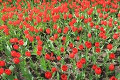 Grand parterre de jardin rouge de tulipes au printemps images libres de droits