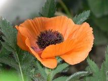 Grand pavot orange Image stock
