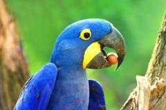 Grand perroquet bleu Ara Hyacinth Macaw avec la nourriture, hyacinthinus d'Anodorhynchus photographie stock