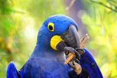 Grand perroquet bleu Ara Hyacinth Macaw, hyacinthinus d'Anodorhynchus images libres de droits