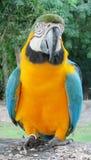 Grand perroquet d'arums de plumes bleues, vertes et jaunes Photo libre de droits