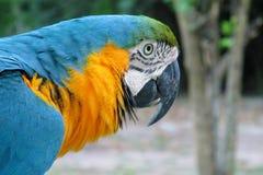 Grand perroquet d'arums de plumes bleues, vertes et jaunes Images libres de droits