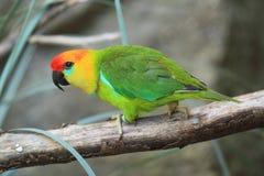 Grand perroquet de figue Image libre de droits