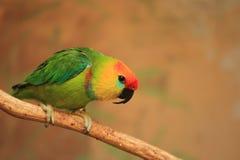 Grand perroquet de figue Photo stock