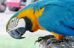 Grand perroquet de plumes bleues, vertes et jaunes Photos libres de droits