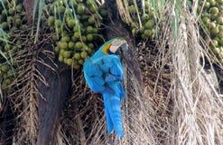 Grand perroquet de plumes bleues, vertes et jaunes mangeant la noix de coco Photos libres de droits