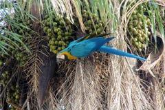 Grand perroquet de plumes bleues, vertes et jaunes mangeant la noix de coco Image libre de droits