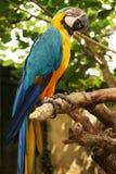 Grand perroquet (macaw vert d'ailes) Image libre de droits