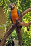 Grand perroquet (macaw vert d'ailes) Photos stock