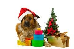 Grand petit morceau aux cheveux longs de crabot ses cadeaux de Noël Image stock