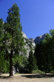 Grand pin avec Yosemite Falls Photo stock