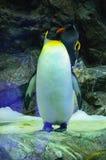Grand pingouin de roi dans Loro Parque, Ténérife, Îles Canaries Photographie stock