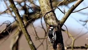Grand pivert repéré, oiseau masculin se reposant sur un tronc d'arbre regardant autour Arbres nus au printemps, lumière du soleil banque de vidéos