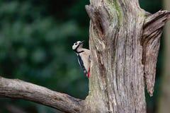 Grand pivert repéré sur un vieil arbre moussu photographie stock libre de droits