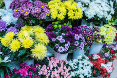 Grand plan rapproché blanc pourpre jaune frais de chrysanthème Image stock