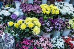 Grand plan rapproché blanc pourpre jaune frais de chrysanthème Image libre de droits