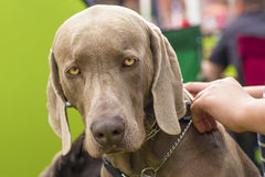 Grand plan rapproché de chien Photo libre de droits