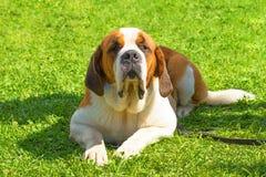 Grand plan rapproché de chien Photos stock