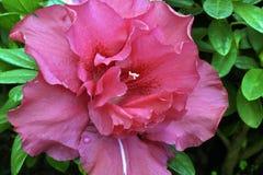 Grand plan rapproché de fleur rouge Photo stock