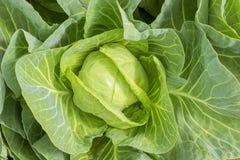 Grand plan rapproché frais blanc de chou, usine dirigée de chou, élevant végétal dans le jardin, dehors, la vue supérieure Images stock