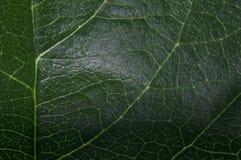 Grand plan rapproché frais vert de tir de feuille translucide au soleil images libres de droits