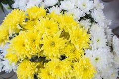 Grand plan rapproché jaune et blanc frais de chrysanthème Images libres de droits
