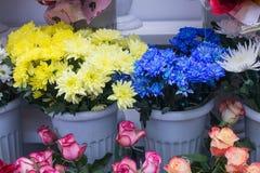 Grand plan rapproché jaune et bleu frais de chrysanthème Image stock