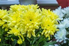 Grand plan rapproché jaune frais de chrysanthème Photographie stock