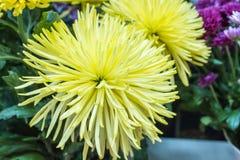 Grand plan rapproché jaune frais de chrysanthème Photos stock