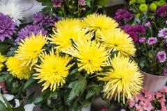 Grand plan rapproché jaune frais de chrysanthème Image libre de droits