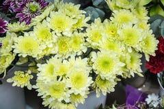 Grand plan rapproché jaune frais de chrysanthème Photo stock