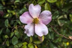 Grand plan rapproché rose de fleur de pétales Images stock