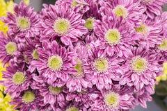 Grand plan rapproché rose frais de chrysanthème image libre de droits