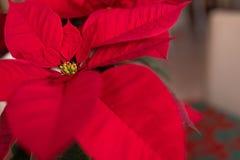 Grand plan rapproché rouge de fleur de poinsettia images stock