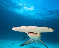 Grand poisson-marteau Photos libres de droits