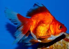 Grand poisson rouge rouge de ryukin Photo libre de droits
