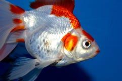 Grand poisson rouge rouge et blanc de ryukin Photo libre de droits